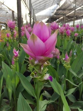 Chiangmai Pink